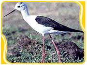 Black Winged Stilt in Chitwan National Park